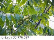 Орех маньчжурский, или Орех думбейский (Juglans mandshurica) Стоковое фото, фотограф Алёшина Оксана / Фотобанк Лори