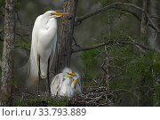 Great egret (Ardea alba) with chicks on nest, Louisiana, USA. Стоковое фото, фотограф John Cancalosi / Nature Picture Library / Фотобанк Лори