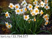 Купить «Daffodils flowers», фото № 33794577, снято 23 мая 2019 г. (c) Юлия Бабкина / Фотобанк Лори