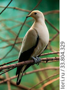 Pied imperial pigeon sitting on tree branch. Ducula bicolor. Стоковое фото, фотограф Яков Филимонов / Фотобанк Лори