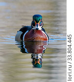 Wood duck (Aix sponsa) male in breeding plumage.   Acadia National Park, Maine, USA. April. Стоковое фото, фотограф George Sanker / Nature Picture Library / Фотобанк Лори