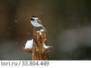 Black-capped Chickadee (Poecile atricapilla) perched on tree stump... Стоковое фото, фотограф Tim  Laman / Nature Picture Library / Фотобанк Лори