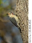 Купить «Red-bellied Woodpecker (Melanerpes carolinus) female Massachusetts, USA. April.», фото № 33804453, снято 4 июня 2020 г. (c) Nature Picture Library / Фотобанк Лори