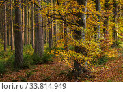 Купить «Common beech (Fagus sylvatica) in autumn, Sidwood, Kielder Forest, Northumberland, UK, October 2017.», фото № 33814949, снято 24 мая 2020 г. (c) Nature Picture Library / Фотобанк Лори