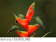 Купить «Green-crowned brilliant (Heliodoxa jacula), three feeding on Lobster-claw (Heliconia sp) flower in rain. Costa Rica.», фото № 33815345, снято 3 июля 2020 г. (c) Nature Picture Library / Фотобанк Лори