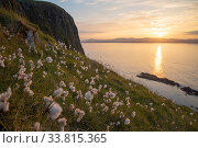 Cotton grass (Eriophorum angustifolium) growing on Garbh Eilean with the Isle of Lewis behind, Shiant Isles, Outer Hebrides, Scotland, UK. June. Стоковое фото, фотограф SCOTLAND: The Big Picture / Nature Picture Library / Фотобанк Лори