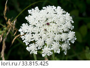Купить «Wild carrot / Queen Anne's lace (Daucus carota) dense white umbel with insects and a single dark red maroon floret in the centre.», фото № 33815425, снято 25 мая 2020 г. (c) Nature Picture Library / Фотобанк Лори