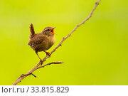 Купить «Wren (Troglodytes troglodytes) singing, early morning in spring, Broxwater, Cornwall, UK. April.», фото № 33815829, снято 5 июня 2020 г. (c) Nature Picture Library / Фотобанк Лори