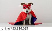 Купить «Cute little dog in red superhero cape and mask sitting on gray background», видеоролик № 33816025, снято 12 мая 2020 г. (c) Ekaterina Demidova / Фотобанк Лори