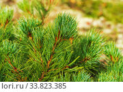 Купить «Needles of shrub Dwarf Stone Pine Pinus Pumila. Close-up view of natural floral background. Natural medicinal plant used in traditional medicine», фото № 33823385, снято 30 августа 2019 г. (c) А. А. Пирагис / Фотобанк Лори