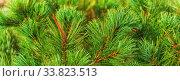 Купить «Needles of shrub Japanese Stone Pine Pinus Pumila. Close-up view banner for design, colorful natural floral background. Christmas mood.», фото № 33823513, снято 30 августа 2019 г. (c) А. А. Пирагис / Фотобанк Лори