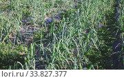 Купить «Green onions under cover material on the field», видеоролик № 33827377, снято 26 мая 2020 г. (c) Яков Филимонов / Фотобанк Лори