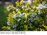 Купить «Spirey May bride in summer sunny day», фото № 33827813, снято 22 марта 2020 г. (c) Марина Володько / Фотобанк Лори
