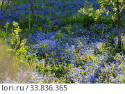 Купить «Sunny meadow in the spring garden where many blue flowers bloom», фото № 33836365, снято 19 мая 2020 г. (c) Яна Королёва / Фотобанк Лори