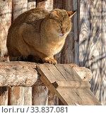 Купить «African Wild cat (Felis lybica)», фото № 33837081, снято 18 марта 2018 г. (c) Валерия Попова / Фотобанк Лори