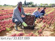 Successful African American horticulturist with red lettuce harvest. Стоковое фото, фотограф Яков Филимонов / Фотобанк Лори