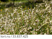 Купить «Useful, medicinal plant (Barbarea vulgaris) grows on a meadow», фото № 33837425, снято 11 марта 2020 г. (c) Татьяна Ляпи / Фотобанк Лори
