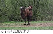 Купить «Привязанный двугорбый верблюд весенним днем», видеоролик № 33838313, снято 11 мая 2020 г. (c) Виктор Карасев / Фотобанк Лори