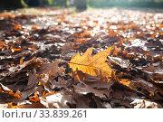 Купить «Fallen oak leaves in the sunlight.», фото № 33839261, снято 5 ноября 2019 г. (c) Елена Блохина / Фотобанк Лори