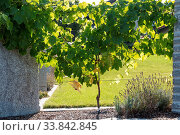 Weinrebe als lebender Zaun und Sichtschutz - Weinstock. Стоковое фото, фотограф Zoonar.com/Alfred Hofer / easy Fotostock / Фотобанк Лори