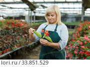 Купить «Mature female gardener working with begonia plants in greenhouse», фото № 33851529, снято 20 августа 2018 г. (c) Яков Филимонов / Фотобанк Лори