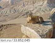 Купить «Young Nubian ibex (Capra nubiana sinaitica) on rock on Negev desert background in southern Israel», фото № 33852045, снято 3 августа 2019 г. (c) Валерия Попова / Фотобанк Лори