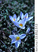 Купить «Spring wildflowers, crocuses with dew drops», фото № 33852513, снято 5 марта 2020 г. (c) Короленко Елена / Фотобанк Лори