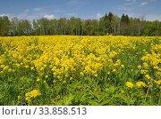 Цветущий рапс (лат. Brassica napus) весенним солнечным днем. Стоковое фото, фотограф Елена Коромыслова / Фотобанк Лори