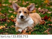 Собака породы вельш-корги пемброк в осеннем парке (2018 год). Редакционное фото, фотограф Андрей Дегтярёв / Фотобанк Лори
