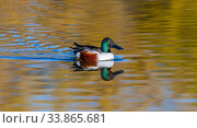 Northern shoveler duck (Spatula clypeata) male on water with autumn colour reflections, Gilbert Riparian Preserve, Arizona, USA. Стоковое фото, фотограф Jack Dykinga / Nature Picture Library / Фотобанк Лори