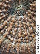 Купить «Disk Coral (Scolymia sp.) detail, Cienaga de Zapata National Park, Matanzas Province, Cuba.», фото № 33865705, снято 2 июня 2020 г. (c) Nature Picture Library / Фотобанк Лори
