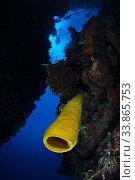 Купить «Yellow tube sponge (Aplysina fistularis) and diver, Guanahacabibes Peninsula National Park, Pinar del Rio Province, western Cuba., Floating debris cleaned», фото № 33865753, снято 2 июня 2020 г. (c) Nature Picture Library / Фотобанк Лори