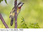 Купить «Cuban green woodpecker (Xiphidiopicus percussus), Guanahacabibes Peninsula National Park, Pinar del Rio Province, western Cuba.», фото № 33865789, снято 2 июня 2020 г. (c) Nature Picture Library / Фотобанк Лори