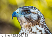 Купить «Portrait of a Galapagos hawk (Buteo galapagoensis) perched in a tree, Santiago Island, Galapagos, Ecuador. December.», фото № 33866193, снято 3 июня 2020 г. (c) Nature Picture Library / Фотобанк Лори