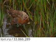Купить «Ridgeway's rail (Rallus obsoletus levipes) foraging in wetlands, Bolsa Chica Ecological Reserve, California, USA May.», фото № 33866289, снято 12 июля 2020 г. (c) Nature Picture Library / Фотобанк Лори