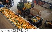 Купить «Ripe tangerines on sorting line in fruit warehouse», видеоролик № 33874409, снято 4 августа 2020 г. (c) Яков Филимонов / Фотобанк Лори