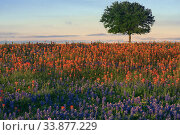 Tree in a flowering field. Bluebonnet: blue lupins and red  indian paintbrush. Texas, USA. Стоковое фото, фотограф Ирина Кожемякина / Фотобанк Лори