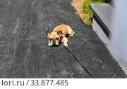 Купить «french bulldog dog on leash walking in city», фото № 33877485, снято 6 мая 2020 г. (c) Syda Productions / Фотобанк Лори