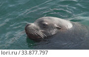 Swimming wild animal Northern Sea Lion marine mammal in cold water Pacific Ocean. Стоковое видео, видеограф А. А. Пирагис / Фотобанк Лори