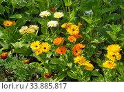 Разноцветная календула (лат. Calendula officinalis) цветет на клумбе в саду. Стоковое фото, фотограф Елена Коромыслова / Фотобанк Лори