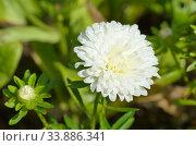 Белая астра (лат. Aster) в саду крупным планом. Стоковое фото, фотограф Елена Коромыслова / Фотобанк Лори