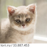 Купить «Портрет маленького двухмесячного котенка породы британская короткошерстная», фото № 33887453, снято 30 мая 2020 г. (c) Наталья Гармашева / Фотобанк Лори