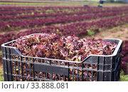 Harvested red leaf lettuce in box. Стоковое фото, фотограф Яков Филимонов / Фотобанк Лори