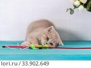 Купить «Маленький котенок играет с игрушкой-удочкой», фото № 33902649, снято 30 мая 2020 г. (c) Наталья Гармашева / Фотобанк Лори