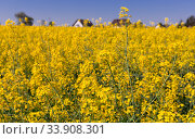 Yellow oilseed rape field at sunny day, landscape in Poland. Стоковое фото, фотограф Яков Филимонов / Фотобанк Лори
