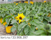 Decorative sunflower flowers carefully growing in flowerpots in glasshouse farm. Стоковое фото, фотограф Яков Филимонов / Фотобанк Лори