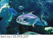 Permit (Trachinotus falcatus) is a marine fish native to western Atlantic Ocean. Стоковое фото, фотограф J M Barres / age Fotostock / Фотобанк Лори