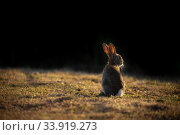 Купить «Rabbit (Oryctolagus cunniculus) juvenile at sunset, Wiltshire, UK. May.», фото № 33919273, снято 4 августа 2020 г. (c) Nature Picture Library / Фотобанк Лори