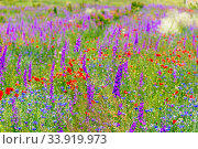 Купить «wild violet flowers and red poppies in a summer flowering field on a sunny day», фото № 33919973, снято 7 июня 2018 г. (c) Константин Лабунский / Фотобанк Лори