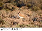 Ludwig's bustard (Neotis ludwigii) Karoo National Park, Western... Стоковое фото, фотограф Richard Du Toit / Nature Picture Library / Фотобанк Лори